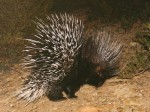 My first Porcupine on Simonskloof
