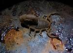 Scorpion in Potjie