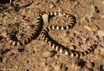 Harlekin snake spotted on Buchu koppie